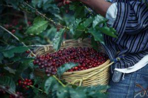 Colheita dos grãos de café